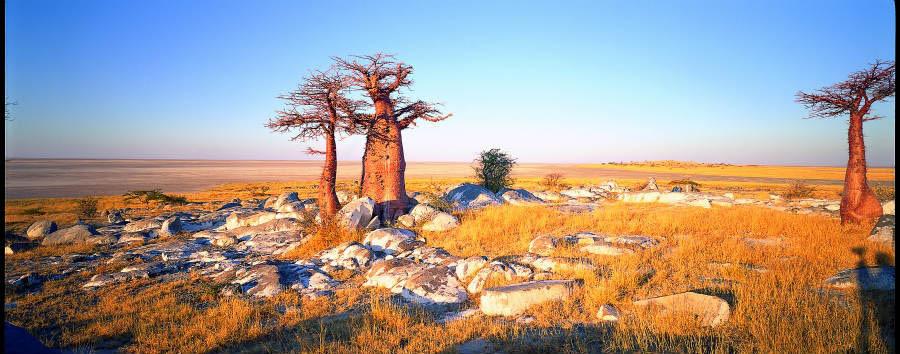 Botswana Baobabs - Africa