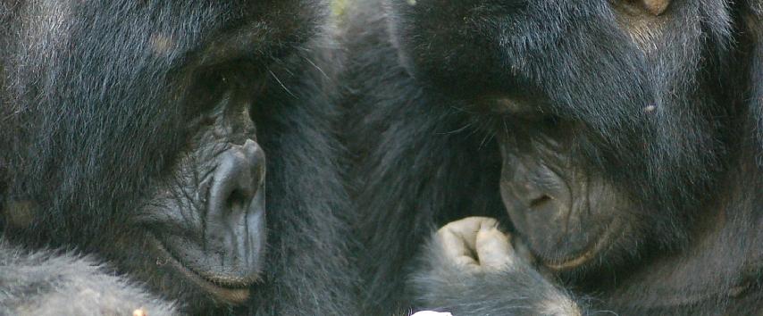 Uganda, Gorilla Adventure - Africa
