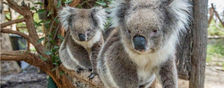 Mosaico australiano: Adelaide